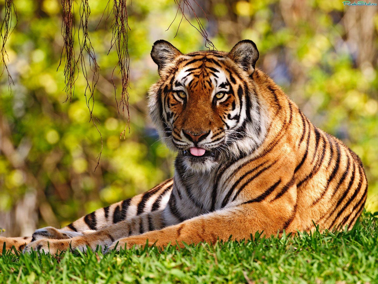 Скачать обои животные raymond reibel, тигр на рассвете на рабочий.