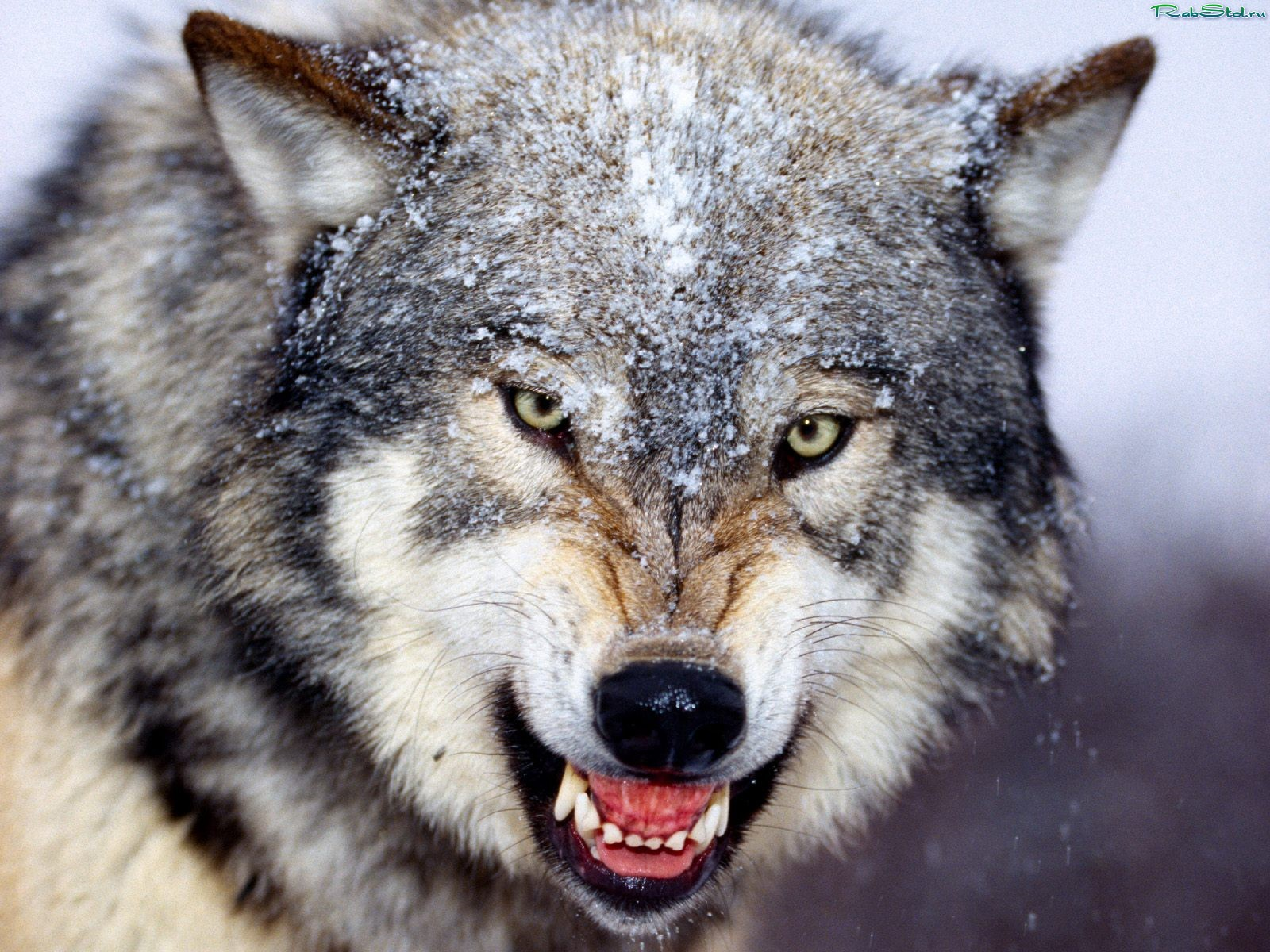 оскал волчий фото